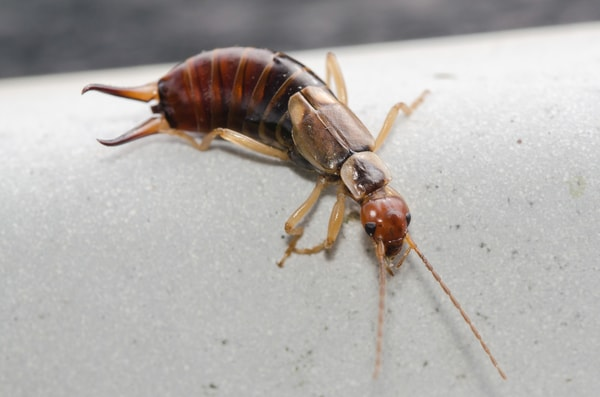 Occasional Invader or Earwigs